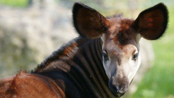 Porque precisas de umas orelhas tão grandes? Para ouvir a mamã - Zoo de Lisboa