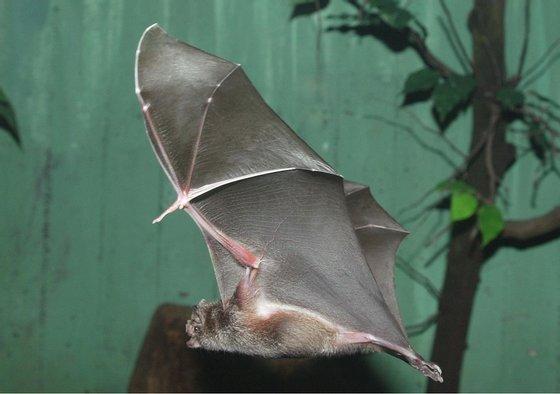 Germany; Berlin: vampire bat in the nocturnal house in the Berlin zoo - 2003